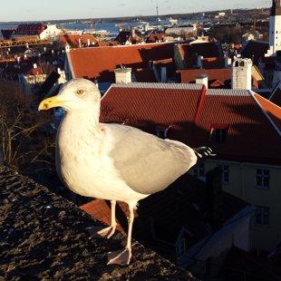 Un te ir viņš- Tallinas albatrosiņš