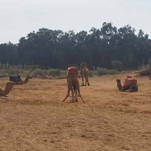 Maroka bez kamieļiem nav iedomājama.