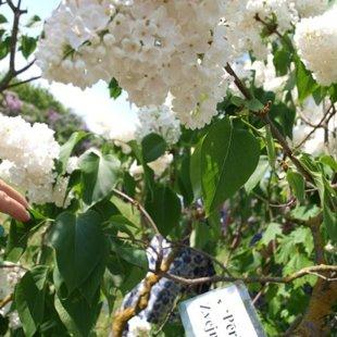 Dobeles ceriņu dārzs